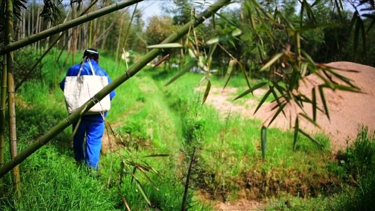 Chine:de la forêt à l'assiette, la culture des pousses de bambou