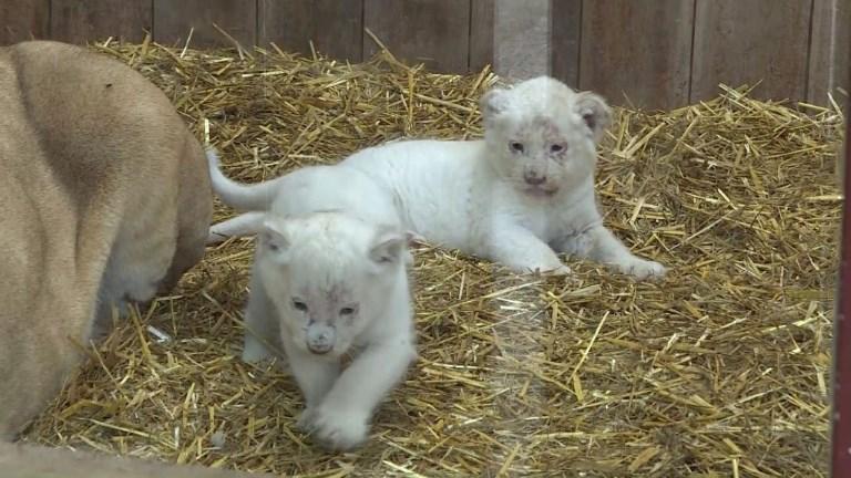 Naissances de 4 bébés lions blancs au Zoo d'Amnéville