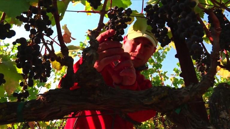 A Napa et Sonoma, des vignes intactes au milieu du chaos