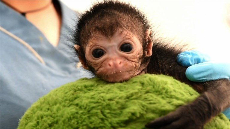 Un bébé singe soigné en Colombie