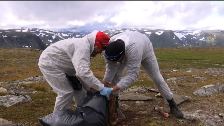 Norvège: abattage massif de rennes pour éradiquer une maladie
