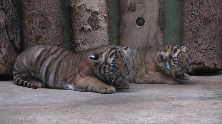 Prague: présentation de deux bébés tigres de Malaisie