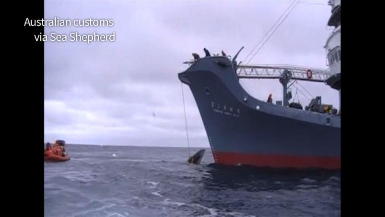 Une vidéo sanglante de baleiniers japonais diffusée