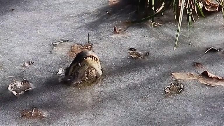 Les alligators ont leur truc pour survivre au gel