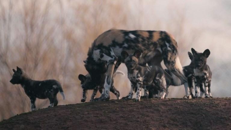 Première sortie des chiots sauvages d'Afrique du zoo de Chester