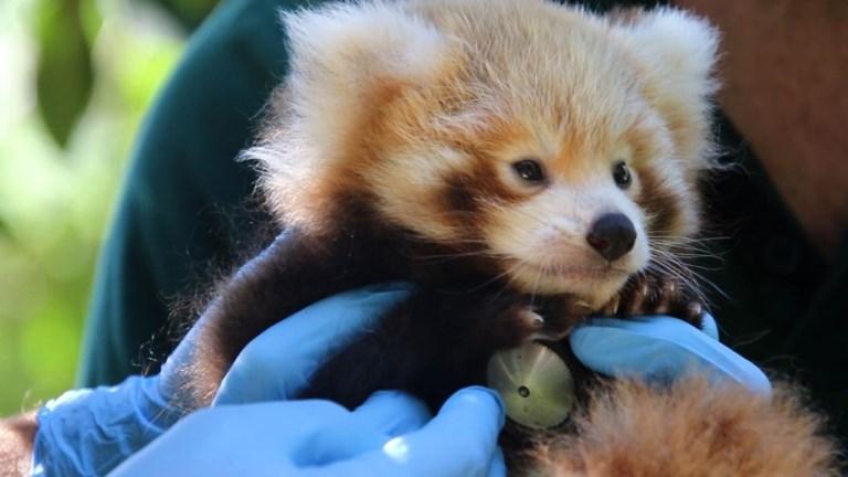 Australie: premier bilan de santé pour un bébé panda roux