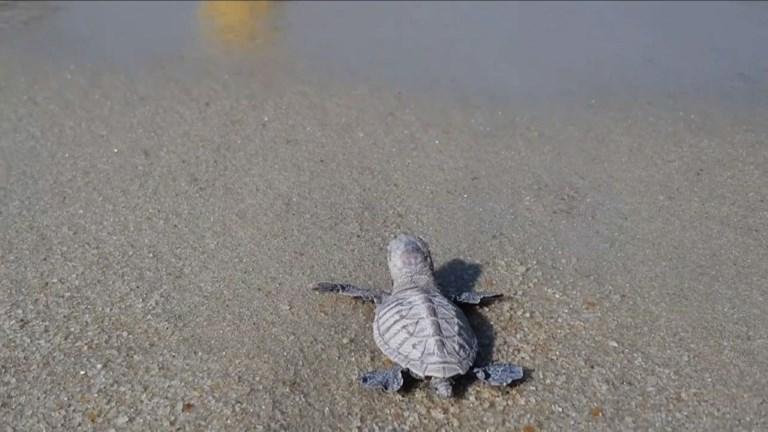 Singapour: naissance d'une centaine de tortues protégées