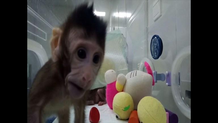 Premier clonage de primates avec la technique de Dolly