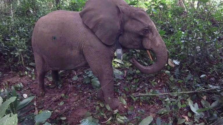 Au Gabon, des éléphants à collier contre les braconniers
