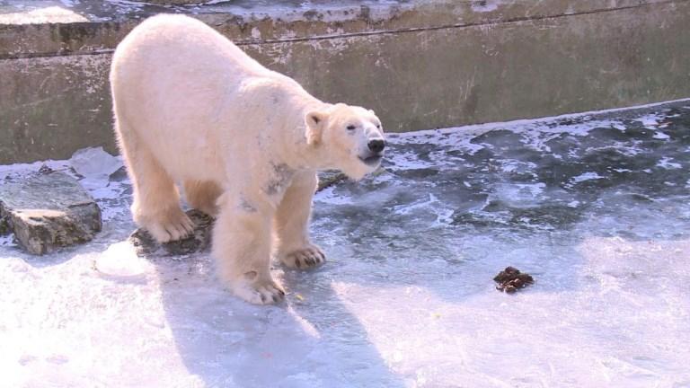 Berlin: les ours polaires du zoo profitent du temps glacial