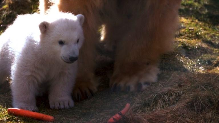 Le Royaume-Uni fête la naissance d'un ourson polaire